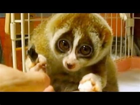Slow Loris: Endangered for Being Cute - YouTube