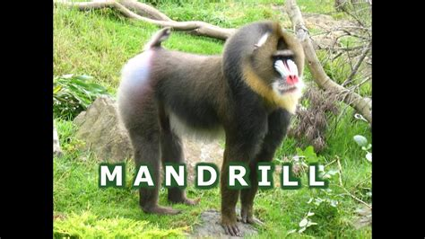 Colorful Mandrill Primate Looks Like Baboons Eating Bugs