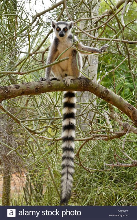 Ring-tailed lemur in spiny forest, Berenty Reserve